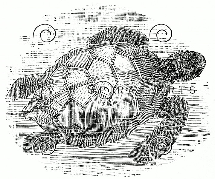 Vintage Sea Turtle Illustration - 1800s Turtles Images.