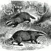 Vintage Badgers Illustration - 1800s Badger Images