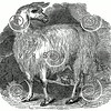 Vintage Llama Alpaca Illustration - 1800s Llamas Alpacas Images