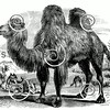 Vintage Camels Illustration - 1800s Desert Camel Images