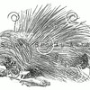 Vintage Porcupines Illustration - 1800s Porcupine Images.