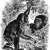 Vintage Chimpanzee Illustration - 1800s Chimps Images