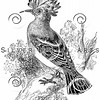 Vintage Hoopoe Bird Illustration - 1800s Birds Images.