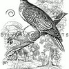 Vintage Turtle Dove Bird Illustration - 1800s Birds Images.