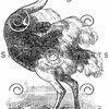Vintage Ostrich Bird Illustration - 1800s Birds Images.
