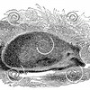 Vintage Hedgehogs Illustration - 1800s Hedgehog Images
