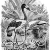Vintage Flamingo Birds Illustration - 1800s Jabiru Bird Images