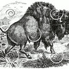 Vintage Buffalo Illustration - 1800s Bison Images