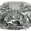 Vintage Kangaroos Illustration - 1800s Kangaroo Images