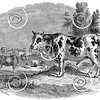 Vintage Cow Illustration - 1800s Cattle Images
