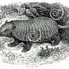 Vintage Armadillo Illustration - 1800s Armadillos Images