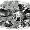 Vintage Guinea Pigs Illustration - 1800s Guinea Pig Rodent Images