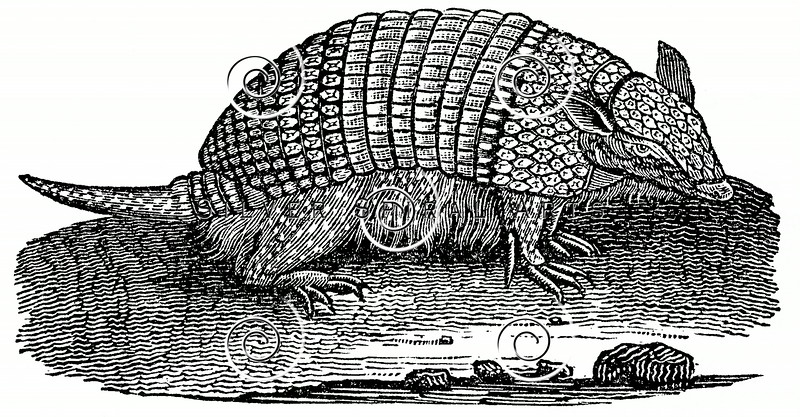 Vintage Armadillo Illustration - 1800s Armadillos Images.