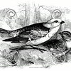 Vintage Snow Bunting Bird Illustration - 1800s Birds Images.