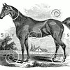 Vintage Horses Illustration - 1800s Horse Images