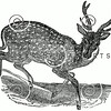 Vintage Deer Illustration - 1800s Stag Buck Images.