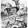 Vintage Deer Buck Illustration - 1800s Doe Fawn Images