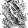 Vintage Woodpecker Bird Illustration - 1800s Birds Images.