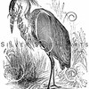 Vintage Heron Bird Illustration - 1800s Birds Images.