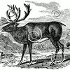 Vintage Reindeer Illustration - 1800s Christmas Holiday Deer Images