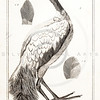 Vintage Illustration of Ibis Bird from the American Edition of the British Encyclopedia, 1817.  Antique digital download of old print - Ibis, bird, animal, nature, encyclopedia, encyclopedic.  The natural age-toning, paper stains, and antique printing imperfections are preserved in this 1800s stock image.