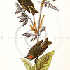 Vintage 1800s Color Illustration of Gold-Crested Kinglet Birds -