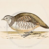 "Vintage Color Illustration of bird from Rev. Francis Orpen Morris's ""A HISTORY OF BRITISH BIRDS"" printed in the mid 1800s.  19th Century hand colored lithograph."