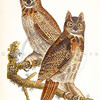 Vintage 1800s Color Illustration of Great Horned Owls - THE BIRDS OF PENNSYLVANIA by B.H. Warren.