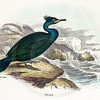Vintage 1800s Color Illustration of Shag Bird from HANDBOOK TO THE BIRDS OF GREAT BRITAIN by Bowdler Sharpe.  The natural patina, age-toning, imperfections, and old paper antiquing of this vintage 19th century illustration are preserved in this image.