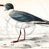Vintage 1800s Color Illustration of a Grey Capped Gull - THE NATURALIST'S LIBRARY by William Jardine.  The natural patina, age-toning, imperfections, and old paper antiquing of this vintage 19th century illustration are preserved in this image.