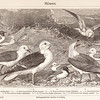 Vintage sepia illustration of seagulls from Meyers Konversations Lexikon 1913 Encyclopedia. Antique digital download of old print - seagulls; birds; wing; water; nature; animals.  The natural age-toning, paper stains, and antique printing imperfections are preserved in this 1900s stock image.
