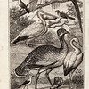 Vintage 1800s Illustration of Birds - ANIMAL BIOGRAPHY by Rev. Bingley.