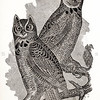 Vintage 1800s Sepia Illustration of Great Horned Owls - ANNUAL REPORT OF THE SECRETARY OF AGRICULTURE by the Massachusetts Board of Agriculture.