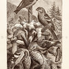 Vintage 1800s Sepia Illustration of Cross Bill Birds from ANIMATED CREATION by Rev. Wood.  The natural patina, age-toning, imperfections, and old paper antiquing of this vintage 19th century illustration are preserved in this image.