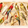 Vintage illustration of Parrot Birds from Meyers Konversations Lexikon 1913 Encyclopedia.  Antique digital download of old print - parrot; tropical; birds; animals; nature; wings.  The natural age-toning, paper stains, and antique printing imperfections are preserved in this 1900s stock image.