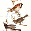 Vintage 1800s Color Illustration of English Sparrows and Snow Birds - THE BIRDS OF PENNSYLVANIA by B.H. Warren.