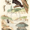 Vintage illustration of Bird, Fish, and Insects from Guerin Natural History Prints, 1836.  Antique digital download of old print - bird, crow, raven, fish, insect, worm, animals, nature, pond.  The natural age-toning, paper stains, and antique printing imperfections are preserved in this 1800s stock image.