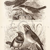 Vintage 1800s Sepia Illustration of Nightingale and Warbler Birds from ANIMATED CREATION by Rev. Wood.  The natural patina, age-toning, imperfections, and old paper antiquing of this vintage 19th century illustration are preserved in this image.