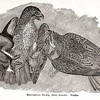 Vintage 1800s Sepia Illustration of Red-Tailed Hawks - ANNUAL REPORT OF THE SECRETARY OF AGRICULTURE by the Massachusetts Board of Agriculture.