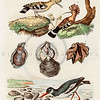 Vintage 1800s Color Illustration of Birds - DICTIONNAIRE PITTORESQUE D'HISTOIRE NATURELLE by F.E. Guerrin.