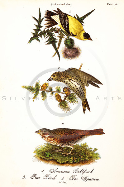 Vintage 1800s Color Illustration of American Goldfinch, Pine Finch, and Fox Sparrow - THE BIRDS OF PENNSYLVANIA by B.H. Warren.