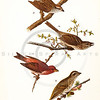 Vintage 1800s Color Illustration of Purple Finch, Chipping Sparrow, and Song Sparrow - THE BIRDS OF PENNSYLVANIA by B.H. Warren.
