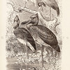 Vintage 1800s Sepia Illustration of Shoebill Birds from ANIMATED