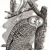 Vintage 1800s Sepia Illustration of Snowy Owls - ANNUAL REPORT OF THE SECRETARY OF AGRICULTURE by the Massachusetts Board of Agriculture.