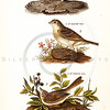 Vintage 1800s Color Illustration of Vesper Sparrw, Yellow-Winged Sparrow, and Field Sparrow - THE BIRDS OF PENNSYLVANIA by B.H. Warren.