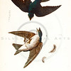 Vintage 1800s Color Illustration of White-Bellied Swallow Birds - THE BIRDS OF PENNSYLVANIA by B.H. Warren.