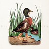 Vintage 1900s Color Illustration of Mallard Duck Bird Children from BIRD CHILDREN by Elizabeth Gorden.  The natural patina, age-toning, imperfections, and old paper antiquing of this vintage 20th century illustration are preserved in this image.