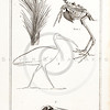 Vintage Illustration of Ibis and Skeleton from the American Edition of the British Encyclopedia, 1817.  Antique digital download of old print - bird, ibis, skeleton, animal, nature, anatomy, bone, encyclopedia, encyclopedic.  The natural age-toning, paper stains, and antique printing imperfections are preserved in this 1800s stock image.