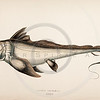 Vintage 1800s Hand-Colored Copper Engraving Illustration of Arctic Chimera fish from A HISTORY OF FISHES OF THE BRITISH ISLANDS by J. Couch in London.  The natural patina, age-toning, imperfections, and old paper antiquing of this vintage 19th century illustration are preserved in this image.