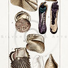 Vintage 1800s Color Illustration of Conch Shells - DICTIONARY OF NATURAL SCIENCE.